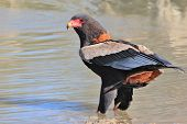 Bateleur Eagle - Wild Bird Background from Africa - Cooling your feet, or talons