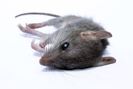 stock photo of field mouse  - A dead grey house or field mouse AKA Mus musculus - JPG