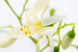 foto of malunggay  - flowers of Moringa on the white blackground - JPG
