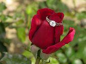 Red Rose Wearing Engagement Ring poster