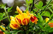 Blooming Red And Yellow Scotch Broom Flowers