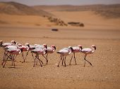 Flamingo March In Namib Desert