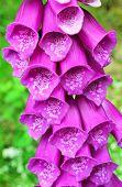 Foxglove (Digitalis purpurea).