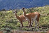 Two Guanacos In Torres Del Paine