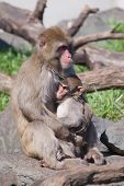 Mother And Baby Macaque (snow) Monkey's