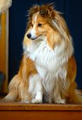 foto of sheltie  - This is Bianca, a shetland sheepdog or sheltie as they are called as well.