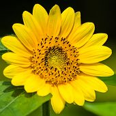 pic of dwarf  - Dwarf Sunflower or Helianthus annuus L - JPG