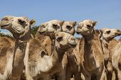 Camels For Sale At Livestock Market. Babile. Ethiopea.