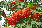 stock photo of rowan berry  - Rowan berries Mountain ash  - JPG