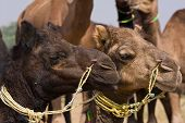 Camel At The Pushkar Fair.  Rajasthan, India