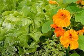 image of nasturtium  - Edible plants in a summer organic garden - JPG