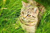 Scottish Straight kitten lying in the grass