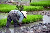 Vietnamese farmer on rice paddy field in Ninh Binh, Tam Coc. Organic farming in Asia