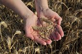 Agriculture, Agronomist Examine Wheat Field