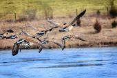 pic of geese flying  - Canadian geese flying over a lake - JPG