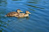 Mallard ducklings.
