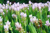 Siam Tulip