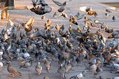 stock photo of pigeon  - Big flock of pigeons and doves feeding at street - JPG