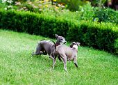 Italian Greyhound Playing In Countryside Park