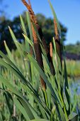 pic of cattail  - Flowering rush  - JPG