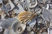 picture of oyster shell  - Pile of sea shells in Wellfleet - JPG
