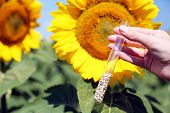 Hand holding tube with seeds in sunflower field