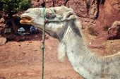 Camel in the desert, Morocco