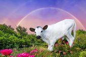 foto of longhorn  - Newborn baby longhorn calf standing in front of a rainbow - JPG