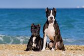 Beautiful pair of pit bull breed dogs sitting together on the beach