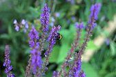 bumblebee on the honey plant