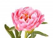 Pink Peony Flower, Stem And Leaves On White