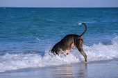 Pitbull dog breed dive headlong into the water on a very hot summer day