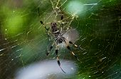 Golden Silk Spider And Web