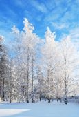 foto of winter trees  - Wonderful white birches in rime on the background of blue sky - JPG