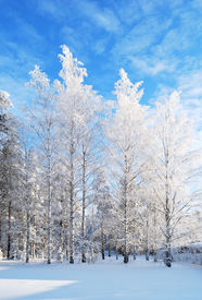 image of winter trees  - Wonderful white birches in rime on the background of blue sky - JPG