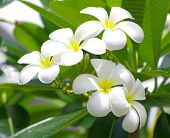 foto of frangipani  - Frangipani flowers on a tree in the garden - JPG