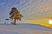 Lonely Pine In The Golden Rays Of A Winter Sunset