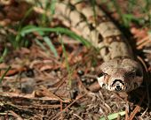 Columbian Red-Tailed Boa