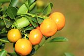 stock photo of kumquat  - Cumquat or Kumquat - JPG