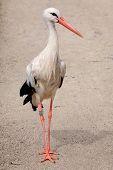 Parading stork