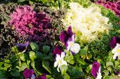Violets and Ornamental Cabbage