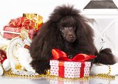 foto of christmas puppy  - puppy christmas toy poodle - JPG