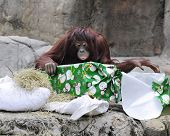 An adult orangutan unwrapping a Christmas gift.