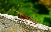 foto of mayfly  - Dragonfly on the tree - close up view