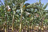 Banana Plantation 1748