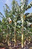 Banana Planation 1749
