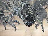 lace lizard
