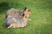 Постер, плакат: Hares On A Meadow