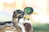 Great Ducks 2