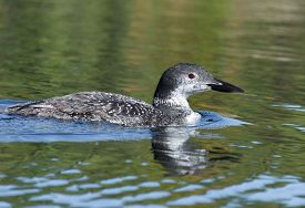 stock photo of loon  - Selective focus on a young adolescent loon on the northern lake in October - JPG